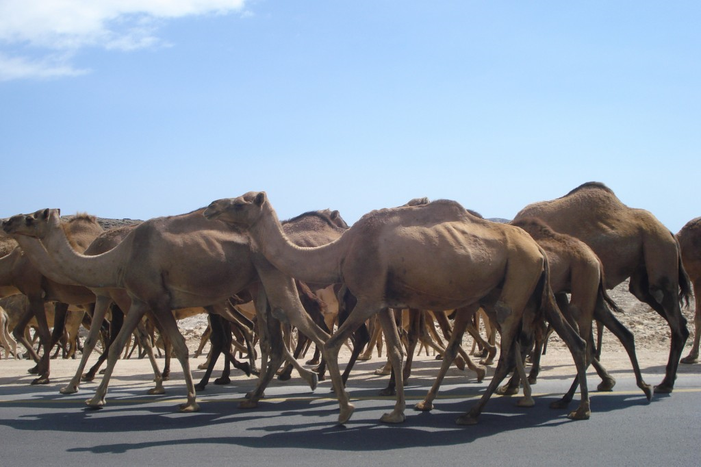 Large herd of camels walking down a paved road in between Salalah and Mirbat, Oman