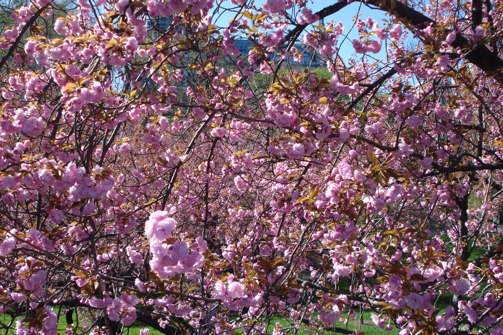 Pink blossoms on trees in Central Park April 2010