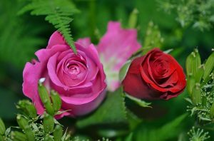One pink rose and one red rose